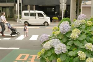 ブログ用_神楽坂の紫陽花